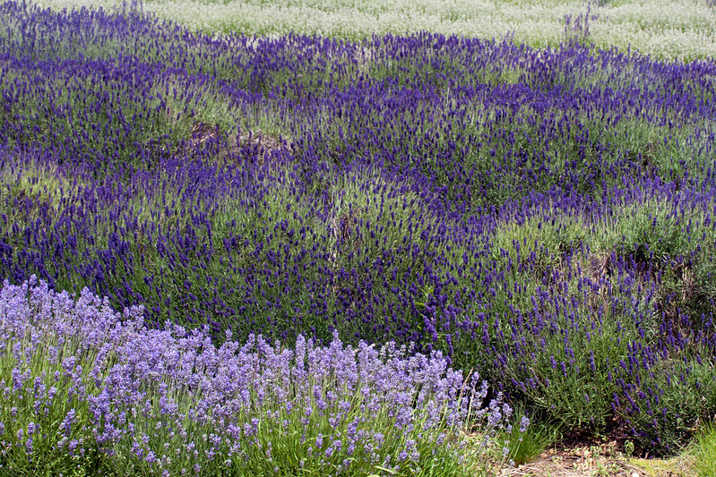 Snowshill Lavender Farm in June