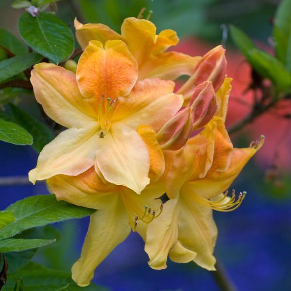 AZALEA FLOWERS WITH BACKGROUND OF BLUEBELLS