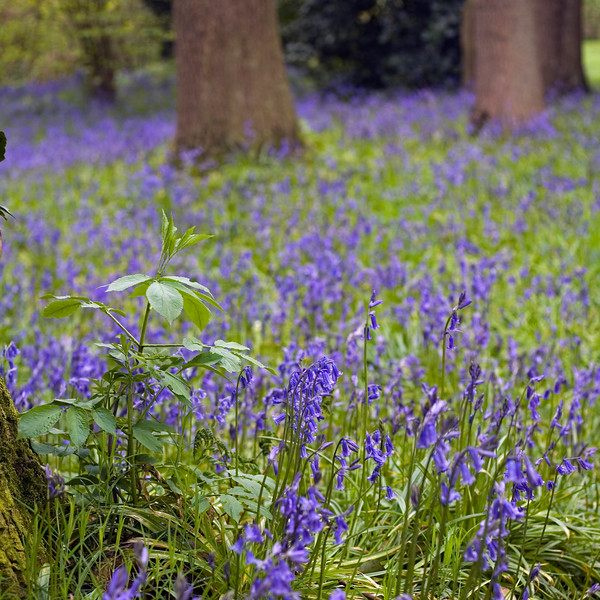 BLUEBELL WOOD AT DOROTHY CLIVE GARDEN, WILLOUGHBRIDGE, SHROPSHIRE, MAY
