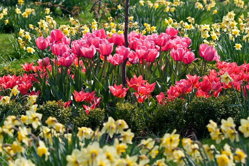 Spring bulbs at Cooper's Millennium Garden, Staffs