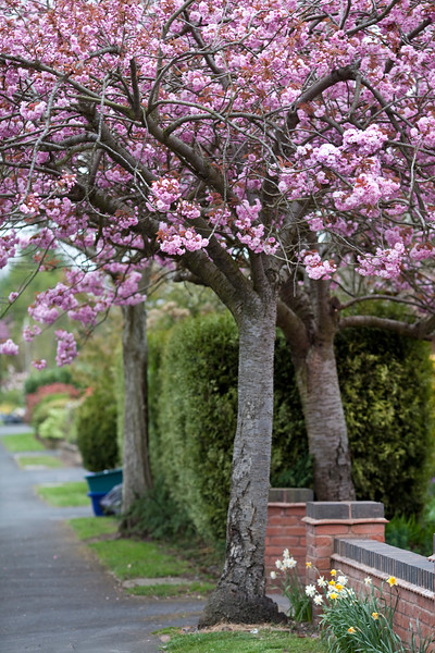 Prunus trees in Four Oaks, Sutton Coldfield