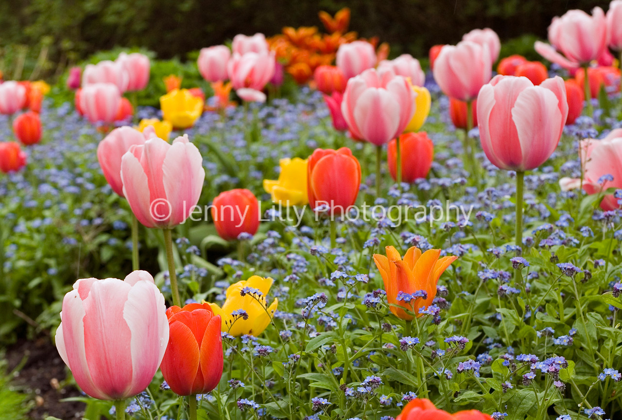 TULIPS AND FORGET-ME-NOTS AT THE DOROTHY CLIVE GARDEN, WILLOUGHBRIDGE, SHROPSHIRE, MAY