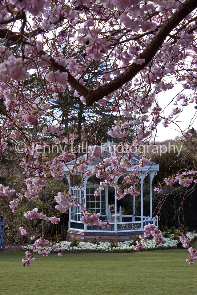 PRUNUS 'ACCOLADE' IN FRONT OF THE BANDSTAND AT BIRMINGHAM BOTANICAL GARDENS AND GLASSHOUSES
