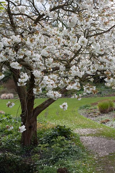Prunus Shirotae 'Mount Fuji'