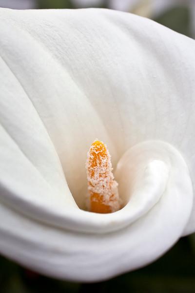 Zantedeshia Aethiopica