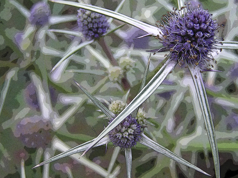 ERYNGIUM TRIPARTITUM, MANIPULATED