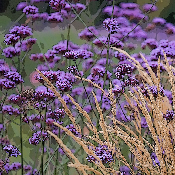 VERBENA BONARIENSIS, AND STIPA IN ASSOCIATION, MANIPULATED,