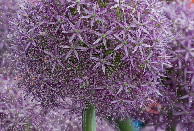 ALLIUM GLOBEMASTER, MANIPULATED