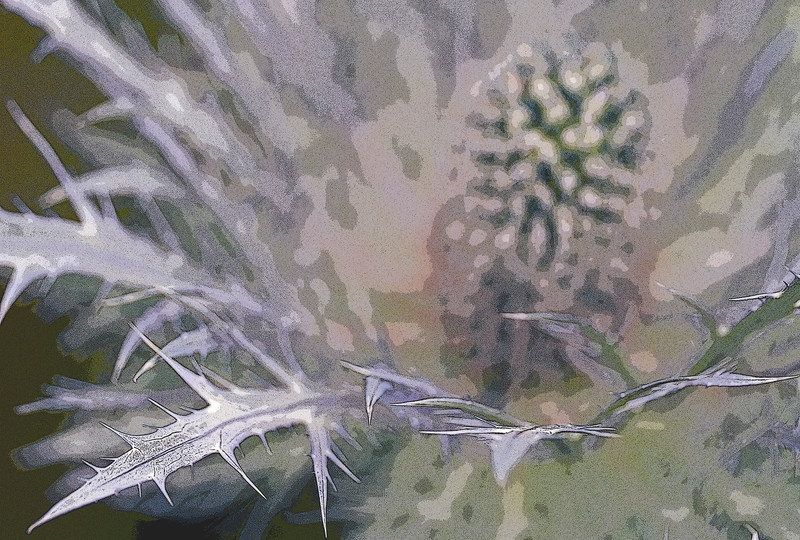 ERYNGIUM OLIVERIANUM, MANIPULATED