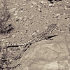 Lizard, desert, west