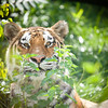 Bengal tiger, behind bush