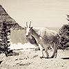 Ram, big horn sheep, Glacier National Park