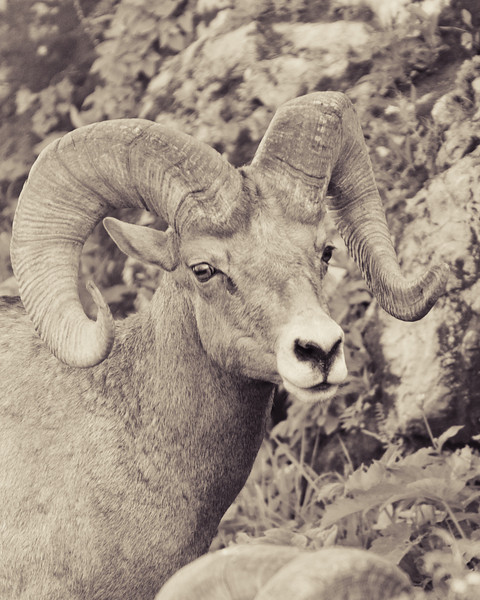 Mountain rams, Glacier National Park, big horn sheep