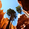 Bryce Canyon, pine trees, sky