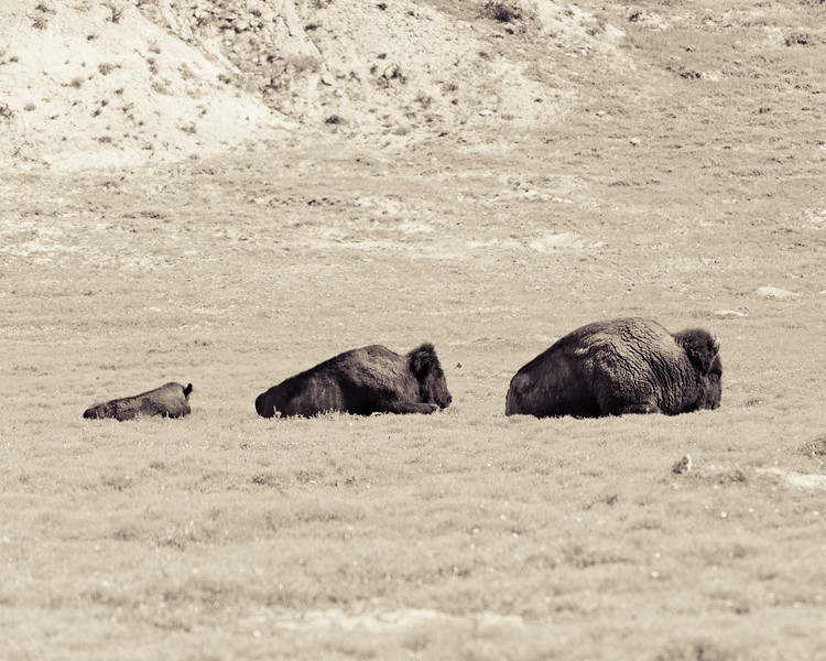 Buffalo, three buffalos, dad, mom, baby