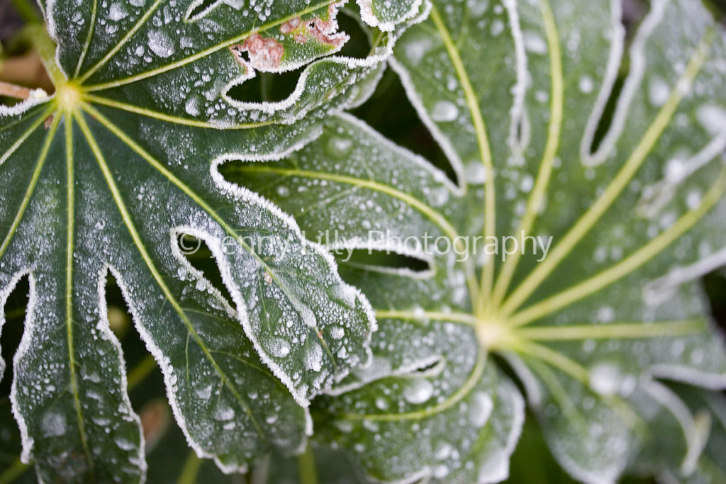 FATSIA JAPONICA LEAVES IN FROST