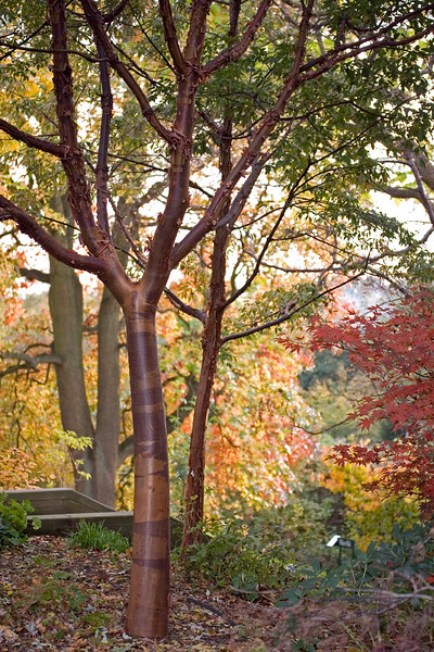 Acer Griseum at Birmingham Botanical Gardens