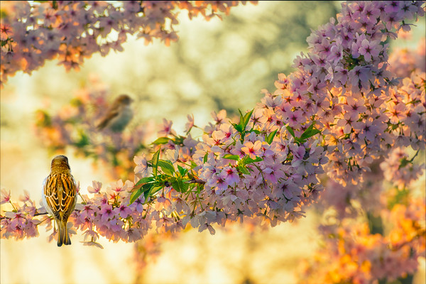 Inspiring Spring | Pair Couple of Sparrows in Cherry Blossom Tree on Twig at Sunset