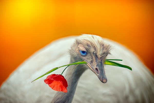 The Dreamer | Beautiful Blue Eyes Young Ostrich Struisvogel Romantic Poppy FLower Gift In Love With Mother Nature