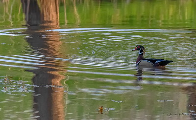 Icing on the cake---a Wood Duck Drake on the way out!!