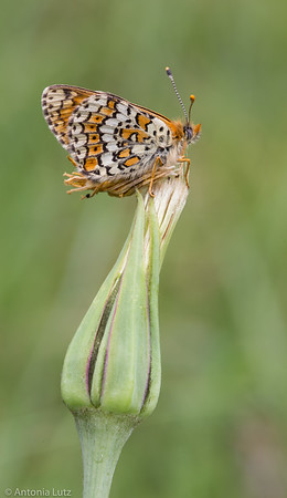 Wegerich-Scheckenfalter (Melitaea cinxia)