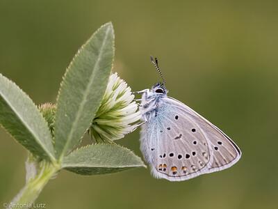 Vogelwicken-Bläuling (Polyommatus amandus)