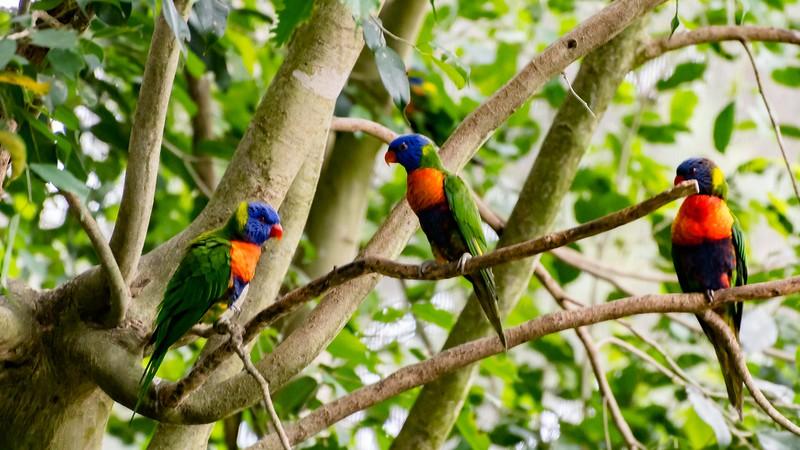 Rainbow Lorikeets (Kuranda, Australia - Nov 2016)