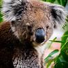Koala Bear (South of Melbourne, Australia - Nov 2016)