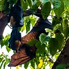 Fruit Bats Roosting (Cairns, Australia - Nov 2016)
