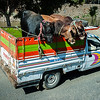 Egypt - Near Cairo - Cattle Truck.JPG