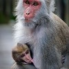 Formosan Rock Macaque (Taiwan - Nov 2016)
