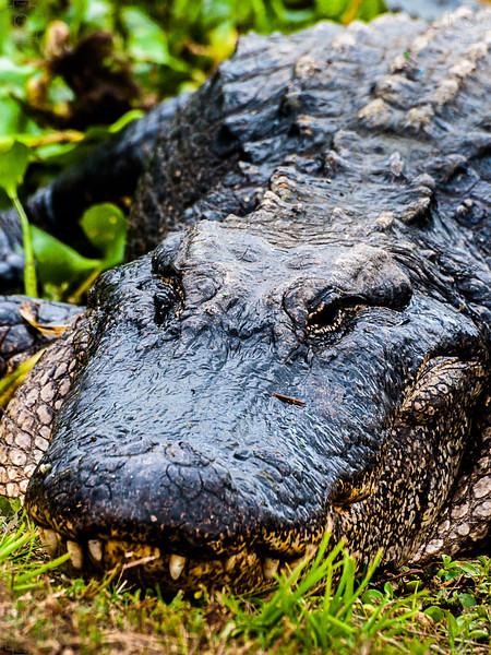 Wildlife - Alligator 5.jpg