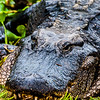 Wildlife - Alligator 5.jpg