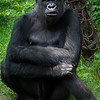 Wildlife - Gorillas-2.jpg