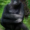 Wildlife - Gorillas-2.jpg