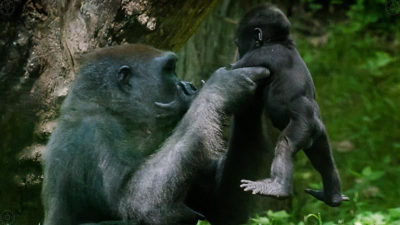 Wildlife - Gorillas-5.jpg