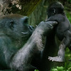 Wildlife - Gorillas-5.jpg