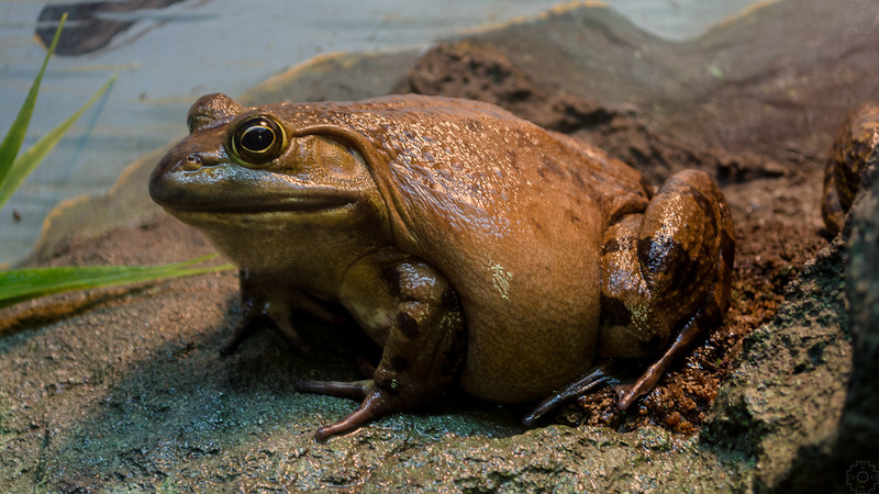 Wildlife - Fat Frog.jpg
