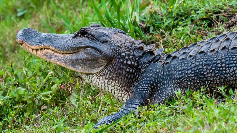 Wildlife - Alligator 6.jpg