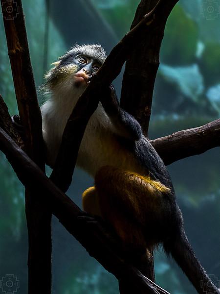 Wildlife - Wolfs Mona Monkey Climbing.jpg