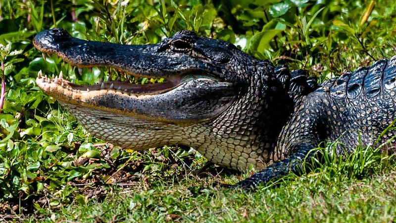 Wildlife - Alligator 3.jpg