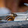 Wildlife - Chipmunk in Water Fountain