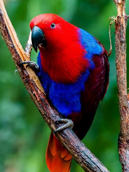 Parrot (Kuranda, Australia Nov - 2016)