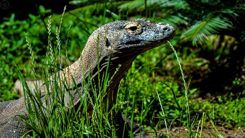 Wildlife - Komodo Dragon.jpg