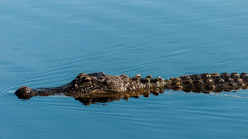 Wildlife - Alligator.jpg
