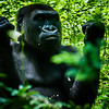 Wildlife - Gorillas.jpg