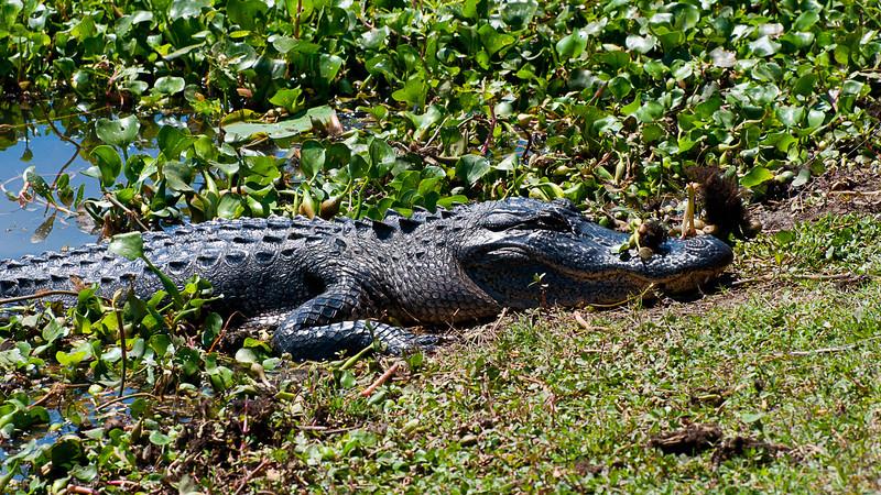 Wildlife - Alligator 2.jpg