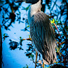 Wildlife - Crested Heron.jpg