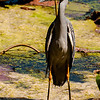 Wildlife - Crested Heron 2.jpg