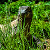 Wildlife - Komodo Dragon - 2.jpg